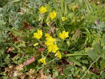 Yellow Buttercup flowers on the background of green grass and stones. Buttercup flowers. The first yellow flowers in March on rocky soil. Sunny spring day royalty free stock photography
