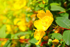 Yellow buttercup flowers Royalty Free Stock Images