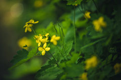 Yellow Buttercup Flowers Royalty Free Stock Photography