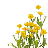 Yellow buttercup flowers bunch on white Royalty Free Stock Images