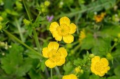 Yellow buttercup flowers in green grass Stock Photos