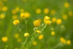 Yellow buttercup flowers in meadow amongst green grass in summer day. Background. Stock Photography