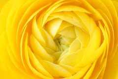 Yellow buttercup Royalty Free Stock Photos