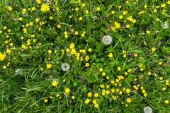 Yellow buttercup meadow top view with dandelion Royalty Free Stock Image