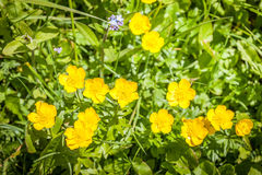 Yellow buttercup (Ranunculus) Royalty Free Stock Photo
