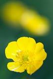 Yellow buttercup (Ranunculus) Royalty Free Stock Photo
