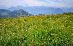 Yellow Buttercup Wildflowers in meadow with blurred background of Panoramic Landscape View of mountain ranges from Rigi Kulm Royalty Free Stock Image