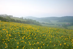 Yellow Buttercups at Dawn Royalty Free Stock Images
