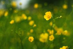Yellow buttercups. Buttercups flowering in the field Royalty Free Stock Photo