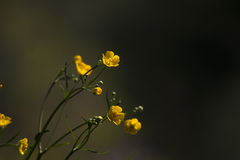 Yellow buttercups Royalty Free Stock Images