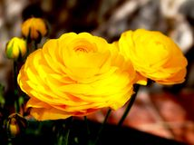 Yellow buttercups on garden Royalty Free Stock Photos