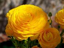 Yellow buttercups on garden Stock Images