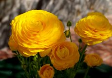 Yellow buttercups on garden Royalty Free Stock Images