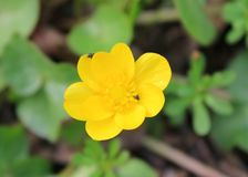 Yellow buttercups royalty free stock photos
