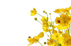 Yellow buttercups with ladybug on white. Background Stock Photography