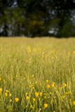 Yellow buttercups in meadow Royalty Free Stock Photos
