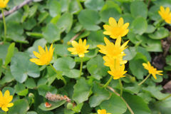 Yellow buttercups stock image