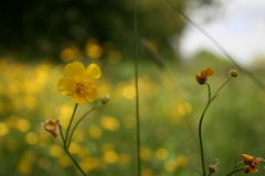 Yellow buttercups. In a meadow stock images