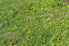 Yellow buttercups Stock Photography