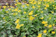 Yellow buttercups Stock Photos