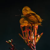 Yellow Butterflie Royalty Free Stock Photography