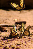 Yellow butterflies on the ground. A group of yellow butterflies on the ground stock image