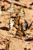Yellow butterflies on the ground. A group of yellow butterflies on the ground royalty free stock photos