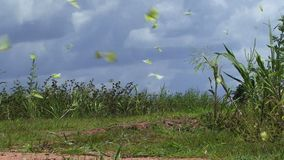 Yellow butterflies on the ground flying. Sulphur yellow butterflies flying in Amazon stock video