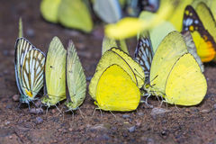 Yellow butterflies Royalty Free Stock Photo
