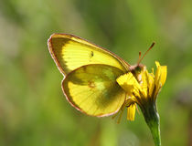 Yellow butterfly. This yellow butterfly is a Clouded-Sulphur and it was photographed in Quebec, Canada royalty free stock photo