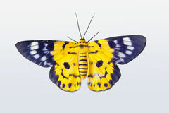 Yellow butterfly. Exotic yellow butterfly on a white background stock images