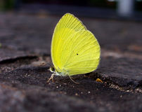 Yellow butterfly. Landed on the rock floor Royalty Free Stock Image