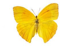 Yellow butterfly. Beautiful yellow butterfly in front of white background royalty free stock photos
