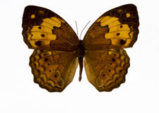 Free Yellow Butterfly Royalty Free Stock Photos - 3658258