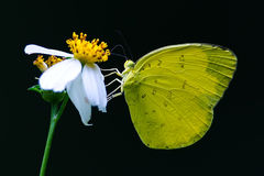 Yellow Butterfly. Eating on Yellow flower stock images