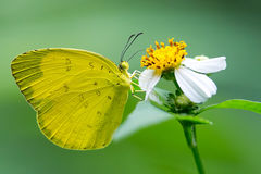 Yellow Butterfly. Eating on Yellow flower Stock Image