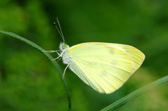 Yellow butterfly Royalty Free Stock Photos