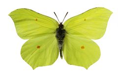 Yellow butterfly. (isolated on white royalty free stock photography