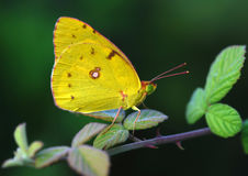 Yellow butterfly. A yellow butterfly sitting on a green twig Royalty Free Stock Photos