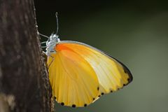 Yellow Butterfly on bark with plain green background Stock Photos