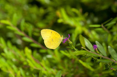 Yellow butterfly. Beautiful yellow butterfly (Common Grass Yellow, Eurema hecabe contubernalis) is feeding on purple flower Stock Photography