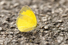 Yellow Butterfly. Beautiful yellow butterfly (Common Grass Yellow, Eurema hecabe contubernalis) on the ground Stock Image