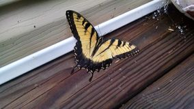 Yellow butterfly. Beautiful yellow butterfly drying from the rain Royalty Free Stock Photography