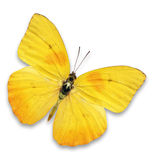Yellow butterfly. Beautiful yellow butterfly isolated on white background stock photos