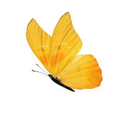 Yellow butterfly. Beautiful yellow butterfly isolated on white background royalty free stock photo
