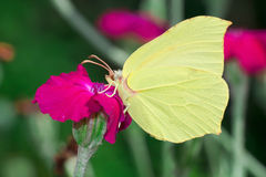 Yellow Butterfly on a Bloom. Close-up of a yellow butterfly drinking a nectar from a bloom Stock Photography
