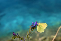 Yellow butterfly. On blue background Stock Photos