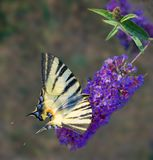 Yellow butterfly on blue flowers Stock Image