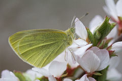 Yellow butterfly on a branch of cherry blossoms in spring. Stock Photo