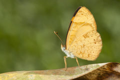 Yellow butterfly on brown leaf with green bacground macro close up detail. Horizontal Royalty Free Stock Image